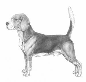 beagle_bw